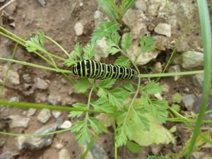 Eine Schwalbenschwanz-Raupe - bald wird daraus ein schöner Schmetterling